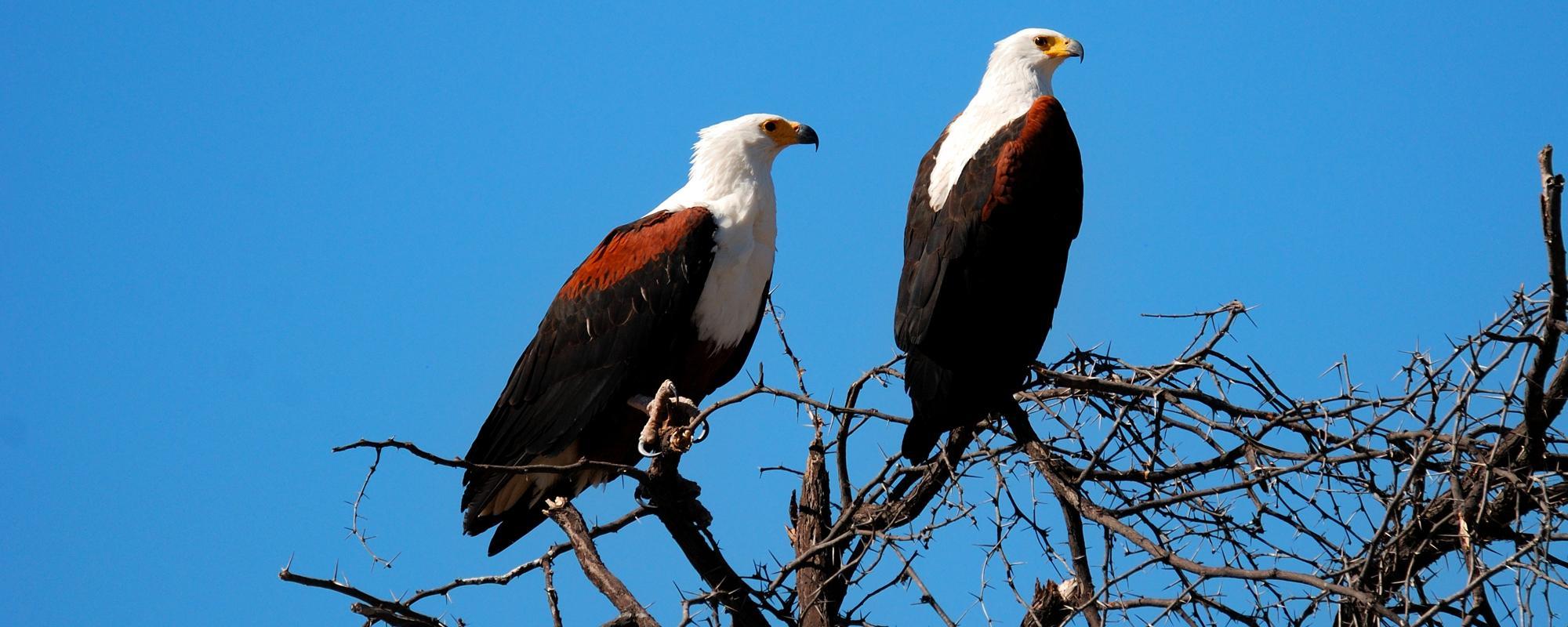 Afrikanische Fischadler